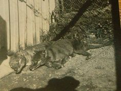 Pair of thylacines napping in the sun