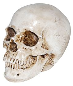 Our Realistic Skeleton Skull Prop $8.29