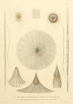 Ernst Haeckel's Radiolaria (1862) | The Public Domain Review