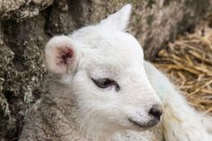 Lamb by Ian Barstow on 500px