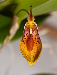 "Orchid.   (""Restrepia mohrii."")    (Pinned both to Nature - P&F-Flowers-*Odd Orchids... & Nature - P&F-Flowers-*Pendant Flowers....)"