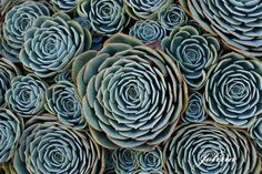 """The Golden Ratio and Secret Geometry in Nature totravelistoliveco: """" """"These wonderfully symmetrical plants show the fractal nature of math, physics and the universe. Could this be evidence of sacred. Fractal Patterns, Patterns In Nature, Geometric Patterns, Textures Patterns, Nature Pattern, Crassula Succulent, Echeveria, Fractals In Nature, Foto Macro"""