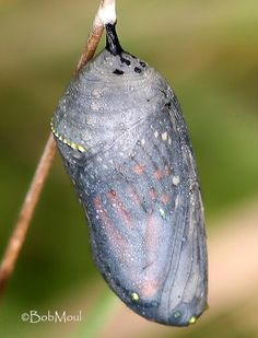 The chrysalis (or pupa) is the transformation stage within which the caterpillar tissues are broken down and the adult insect's structures by yvette Butterfly Facts, Butterfly Life Cycle, Moth Life Cycle, Cycle Photo, Good Quotes For Instagram, Kindergarten Colors, Animal Classification, Pond Life, Classroom Fun