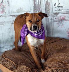 10/31/15-sl ~~ TERRIE Labrador Retriever  German Shepherd Dog Mix • Adult • Female • Medium Montgomery County Animal Shelter Conroe, TX
