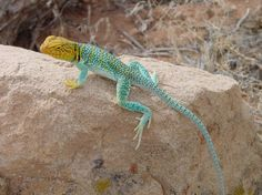 western collared lizard
