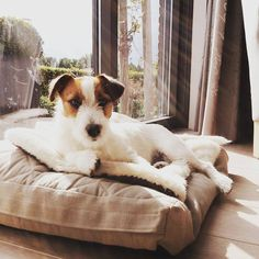 Gijs Jack Russell from Holland #Gijsmans