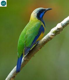 https://www.facebook.com/WonderBirds-171150349611448/ Chim xanh bụng cam/Chim xanh hông vàng; Họ Chim xanh-Chloropseidae; Đông Himalaya, Đông Nam Á và nam Trung Hoa || Orange-bellied leafbird (Chloropsis hardwickii); IUCN Red List of Threatened Species 3.1 : Least Concern (LC)(Loài ít quan tâm)