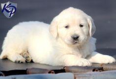 Samson – Golden Retriever Puppy www.keystonepuppies #keystonepuppies  #whitegoldenretriever