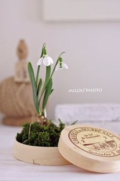 Snowdrop : wonder where they are 10 ft under the snow right now sigh