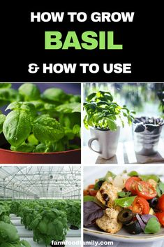Herbs Gardening Check out this article for cultivation tips for keeping your growing basil in pots healthy and tasty; our favorites varieties; and some ideas for how to use basil in your home. Gardening For Beginners, Gardening Tips, Gardening Zones, Flower Gardening, Basil Plant, Types Of Herbs, Home Vegetable Garden, Herbs Garden, Garden Soil