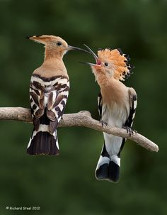 Hungry Hoopoes in Hungary | Photo by Richard Steel