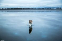 huskys-fox-grom-9