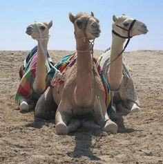 Three camels sitting in the desert somewhere in Qatar