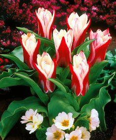~Tulip 'Ancilla'