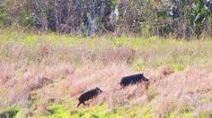 Family of feral pigs from Saturday...