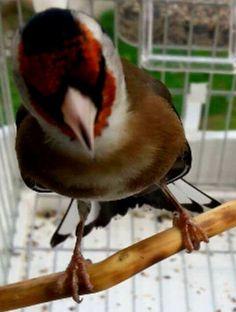 Le grand oiseau Chanteur le beau Chardonneret 😁 🐦 Le Chardonneret Toujours Le Meilleur 🐦 https://www.facebook.com/ChardonneretGolden/  https://plus.google.com/+ChardonneretGolden  https://www.instagram.com/chardonneretgolden/  http://www.youtube.com/ChardonneretGolden  http://www.twitter.com/ChardonneretGol  http://chardonneretgolden.tumblr.com/  https://www.pinterest.com/chardonneretGol/  http://chardonneretgolden.skyrock.com/  https://chardonneretgolden.blogspot.com…
