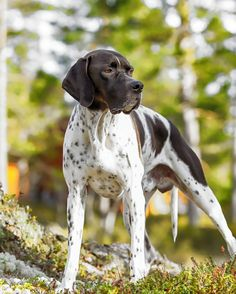 Hunting Dog Breeds - The Best Dogs For Sporting Owners on Amazing Dog Photo Ideas 6110 Pig Hunting Dogs, Hunting Dog Breeds, Hunting Guns, Hound Dog Breeds, Pitbull Boxer, Hunter Dog, Leopard Dog, Dog Runs, Weimaraner