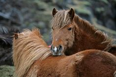 Cuddly Icelanders