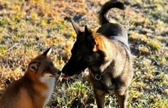 fox became friends with dogs 2