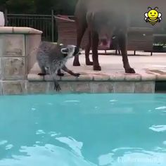 Racoon and Dog swimming together. 😍😍😍,Funny, Funny Categories Fuunyy Racoon and Dog swimming together. 😍😍😍 Source by Cute Funny Animals, Cute Baby Animals, Funny Dogs, Animals And Pets, Cute Dogs, Funny Puppies, Cute Animal Videos, Funny Animal Pictures, Animal Antics