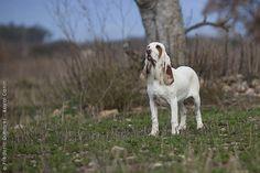 Sabueso Español, Spanish Hound