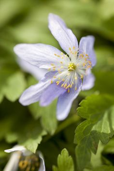 Bulbs for pollinators: Anemone nemorosa. Photo by Paul Debois.