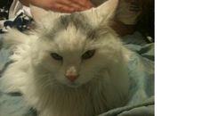Lost Cat in Dunmore - Children Hearbroken - REWARD - Our long hair, white adult cat g... #ReferLocal