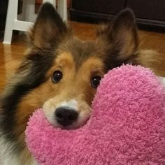 #shetland #sheepdog #cute #dog #lovely