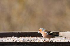 Male chaffinch on one of the bird tables at Summer Leys nature reserve.