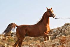 APOLLO EL JAMAAL VF (Jullyen El Jamaal X *Apollonia HCF) 2011 Jordanian Gold Senior Champion Stallion