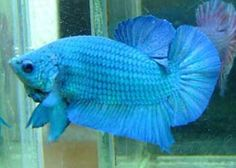 Spade tail betta 39 y tan yal m betta fish pinterest for Beta fish names