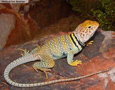 Eastern Collared Lizard (Crotaphytus collaris) Arizona