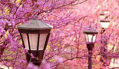 cherry blossom, dreamland, japan, lanterns, romantic, sakura