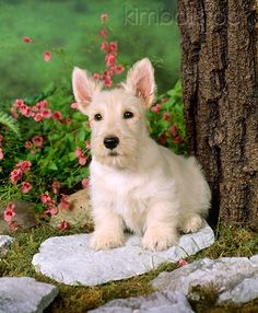 PUP 14 01 - Tan Scottish Terrier Puppy Sitting On Stone By Tree - Kimballstock Pitbull Terrier, Scottish Terrier Puppy, Terrier Dogs, Bull Terriers, Terrier Mix, Hamsters, I Love Dogs, Cute Dogs, Puppy Sitting