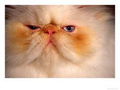 Flame Point Himalayan Cat - Siteman, Frank