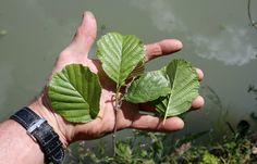 feuilles de l'aulne glutineux