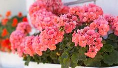 5 Flowering plants for a hassle-free garden - Geraniums Hanging Plants, Planting Flowers, Plants, Garden, Little Garden, Plant Design, Farmgirl Flowers, Flowers, Growing Flowers