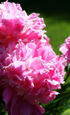 Peonies; they are so hardy and independent! I remember when I was pregnant and not gardening, they simply took care of themselves. :)