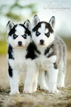 Two husky puppies