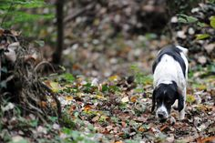 White truffle hunter Gigi, the dog of Renato Agnello, searches in the woods of Barbaresco near Alba in the northern region of Piedmont, Italy.   - TownandCountryMag.com