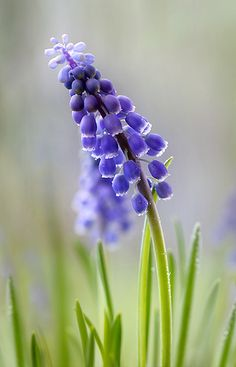 Blue flowers like this grape hyacinth are my favorite. I also have blue veronica this time of year.