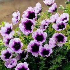 Mixed color100 pcs Rare Geranium Seeds, Variegated Geranium nature Potted Garden Flower,Bonsai plant Potted Flower