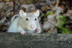 rats saying 'hi! Funny Rats, Cute Rats, Pet Rodents, Hamsters, Little Critter, Love Pet, Cool Pets, Exotic Pets, Guinea Pigs
