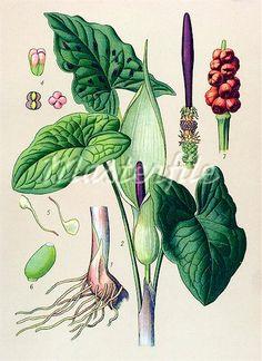 Wild Arum (Arum maculatum), poisonous plant, medicinal plant