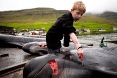 When all you have to learn from is your community and your parents.....is it any wonder the children of the Faroes grow up and continue this ancient but totally unnecessary genocide of contaminated pilot whales & dolphins that is the 'Grindadrap' https://www.facebook.com/GrindStop2014/posts/487586098012931?notif_t=notify_me           #SeaShepherd #defendconserveprotect  #grindstop
