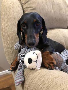 Dachshunds, Doggies, Psy, Dachshund Love, Animals, Pets, World, Pet Dogs, Little Puppies