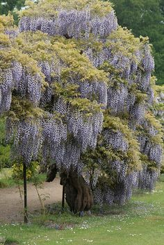 Wisteria - Somerleyton Hall, England  I LOVE the fragrance, but not the bees LOL!!!