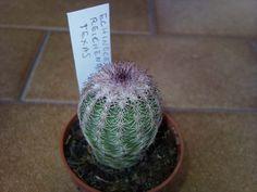 Echinocereus reichenbachii della famiglia delle Cactacee