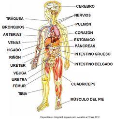 Un ser vivo, está formado biológicamente por células, tejidos, órganos y sistemas.