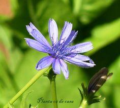 Flower do cichoriun intibus